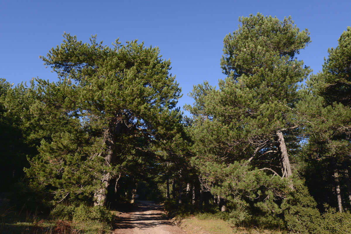 Black Pines (Pinus nigra) on Mt. Kallidromo (Photo: G. Politis)