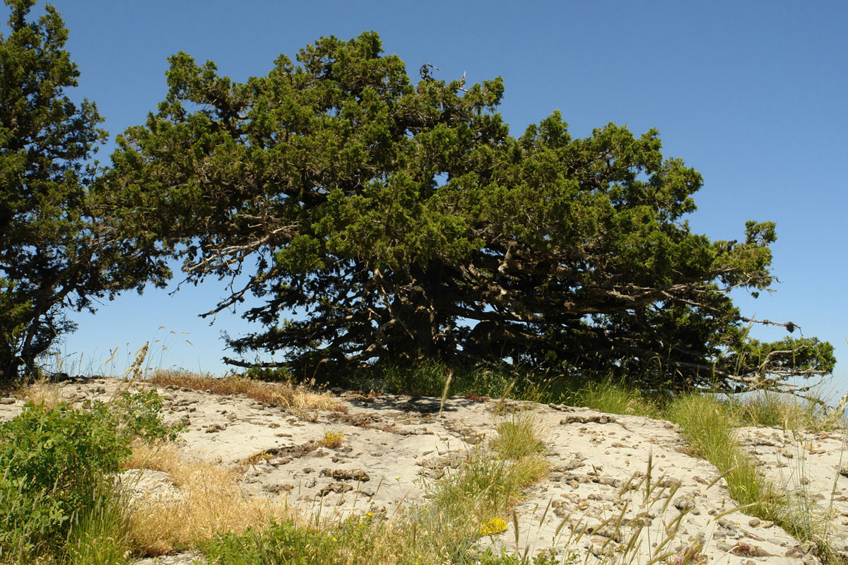 Juniperus foetidissima is the characteristic species of habitat 9560* (Photo: G. Karetsos)