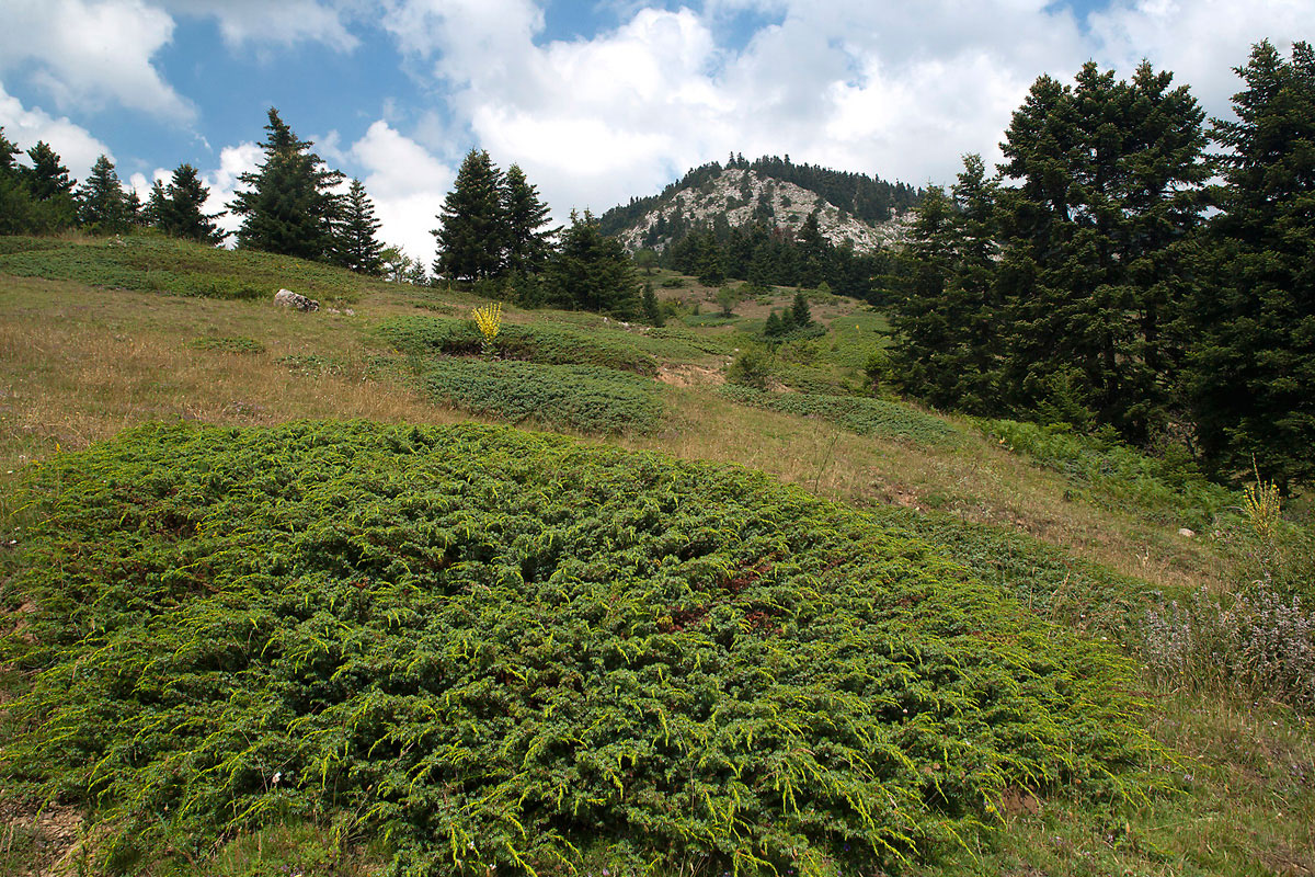 Lack of grazing allows encroachment of Juniperus nana shrubs on the grasslands of Mt. Oiti (Photo: Nikos Petrou)