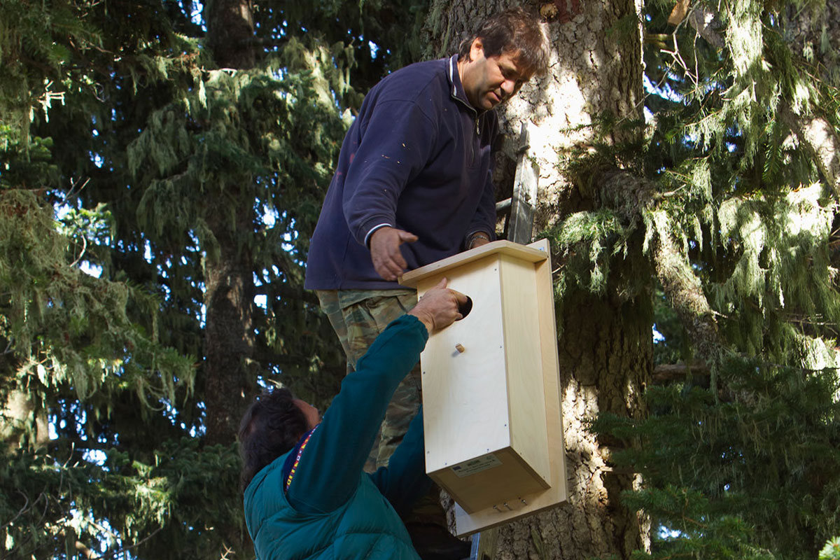 Securing an artificial nest on a fir tree. (Photo: Nikos Petrou)