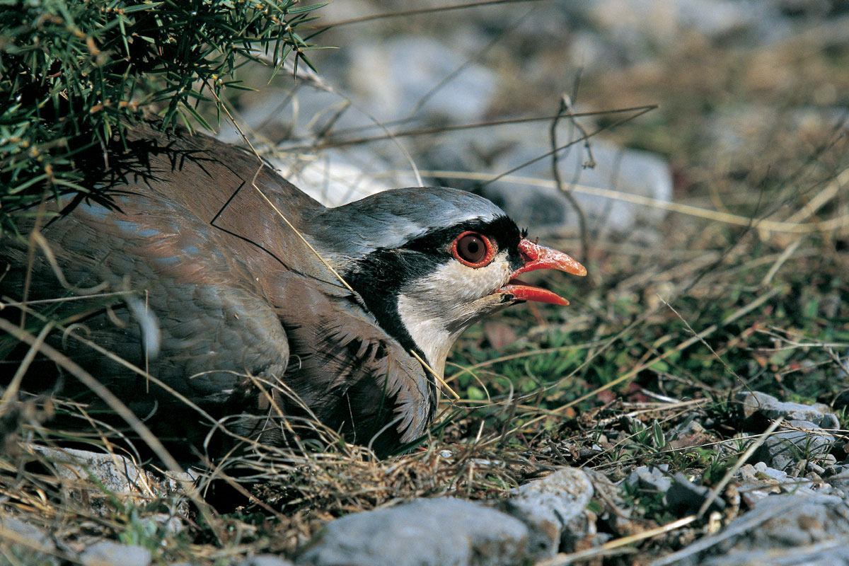 Rock Partridge (Alectoris graeca) (Photo: Nikos Petrou)