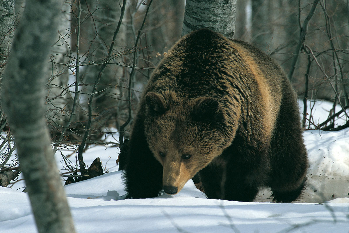 Brown Bear  (Ursus arctos*) (Photo: Nikos Petrou)