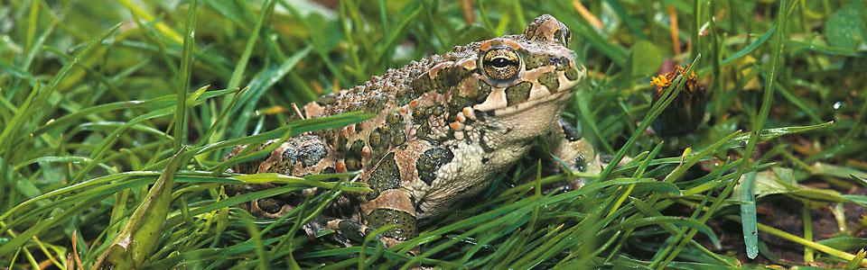 Πρασινοφρυνος (Bufo viridis*) Photo: Nikos Petrou