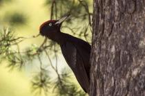 The population status of the Black Woodpecker on Mt. Oiti is unknown (Photo: Nikos Petrou)
