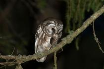 Tengmalm's Owl with prey, in this case a vole (Photo: NikosPetrou)