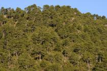 Black Pine forest on Mt. Kallidromo. (Photo: G. Politis)