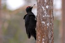 Black Woodpecker (Dryocopus martius) (Photo: Nikos Petrou)