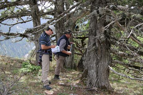 Assessment of the population structure of  Juniperus foetidissima (Photo: Giorgos Mantakas)