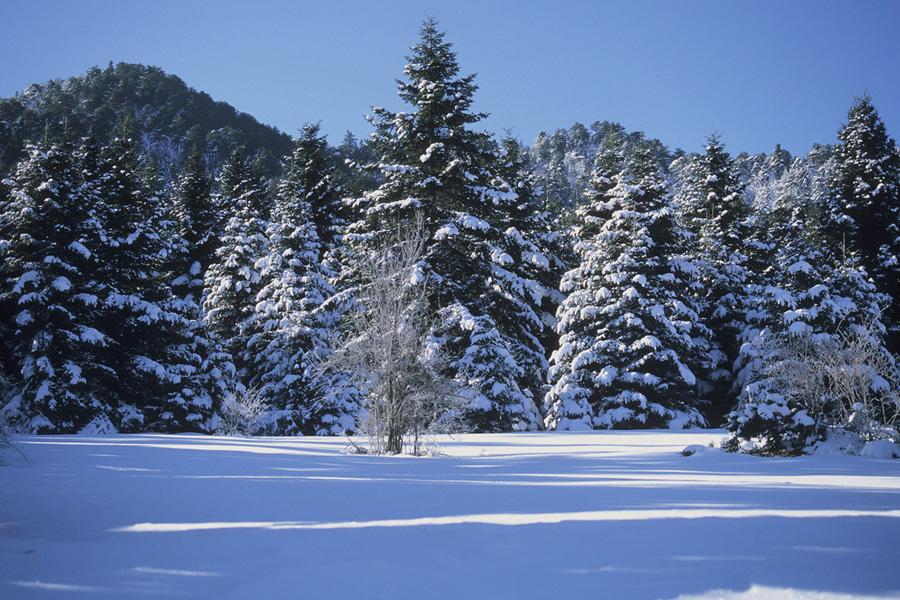 Δάσος Κεφαλληνικής Ελάτης στο Καλλίδρομο. (Φωτο: Γιώργος Πολίτης)