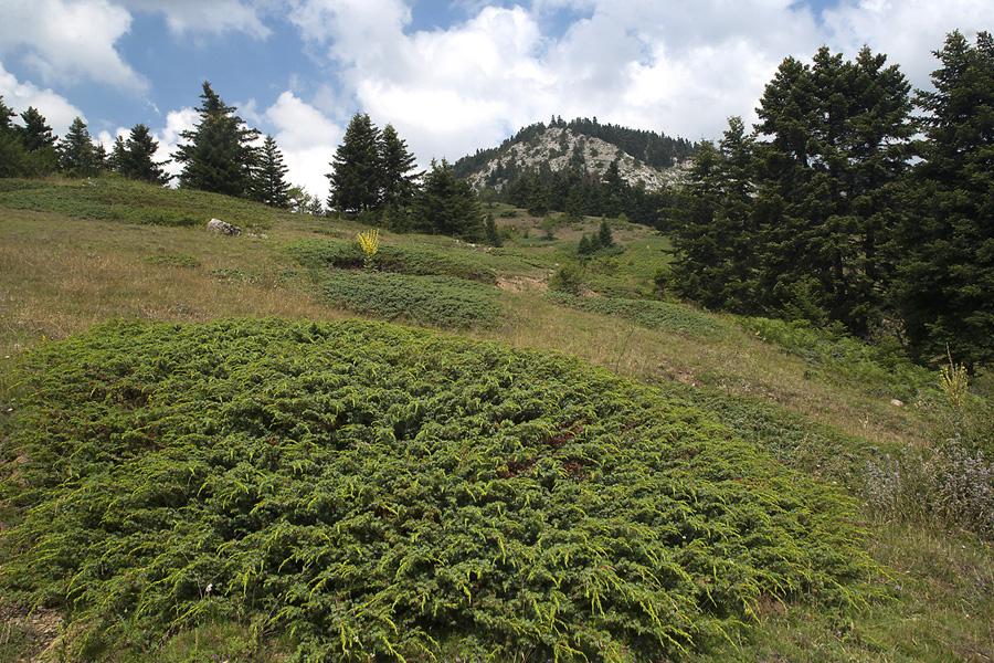 Η έλλειψη βόσκησης επιτρέπει την επέκταση θάμνων Juniperus nana στα λιβάδια της Οίτης. (Φωτο: Νίκος Πέτρου)