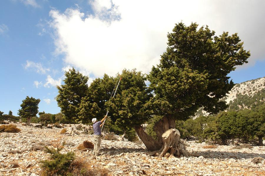 Συλλογή σπόρων κυπαρισσιού για την παραγωγή φυταρίων που θα μπολιαστούν με έμβολα Juniperus foetidissima. (Φωτο: Γιώργος Μάντακας)