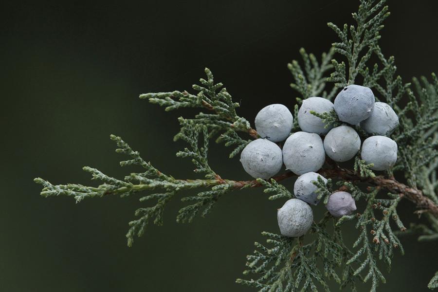 Κώνοι του Juniperus foetidissima. (Φωτο: Κώστας Βιδάκης)