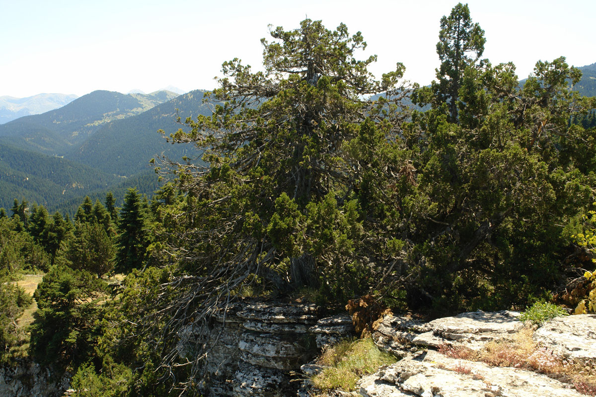 The project aims to increase the area of Juniperus foetidissima forests on Mt. Oiti (Photo: G. Karetsos)