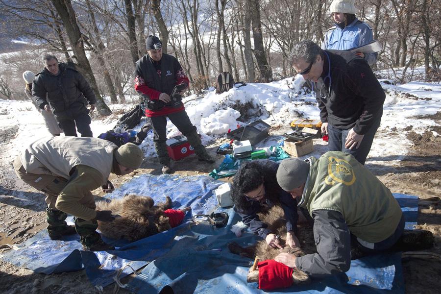 Κτηνιατρική δουλειά στο πεδίο. (Φωτο: Γ. Μουτάφης/ΑΡΚΤΟΥΡΟΣ)