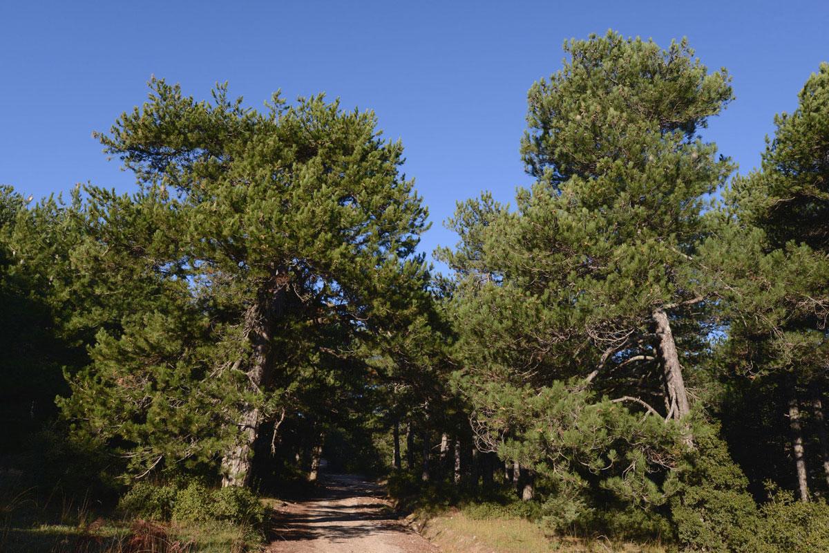 Black Pines (Pinus nigra) on Mt. Kallidromo (Photo: G. Politis)
