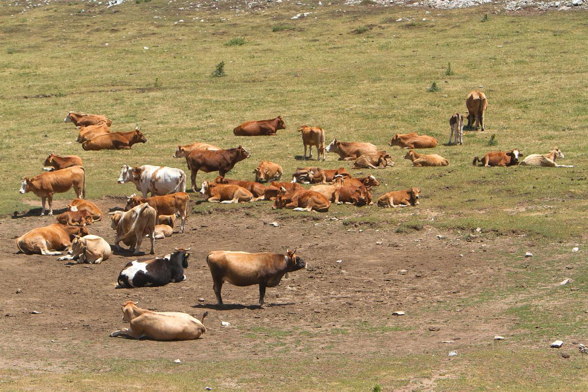 Αγελάδες σε ένα στεγνό εποχικό λιμνίο. (Φωτο: Κώστας Βιδάκης)