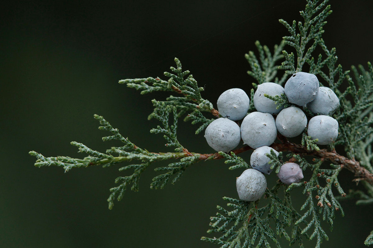 Cones of Juniperus foetidissima. (Photo: K. Vidakis)