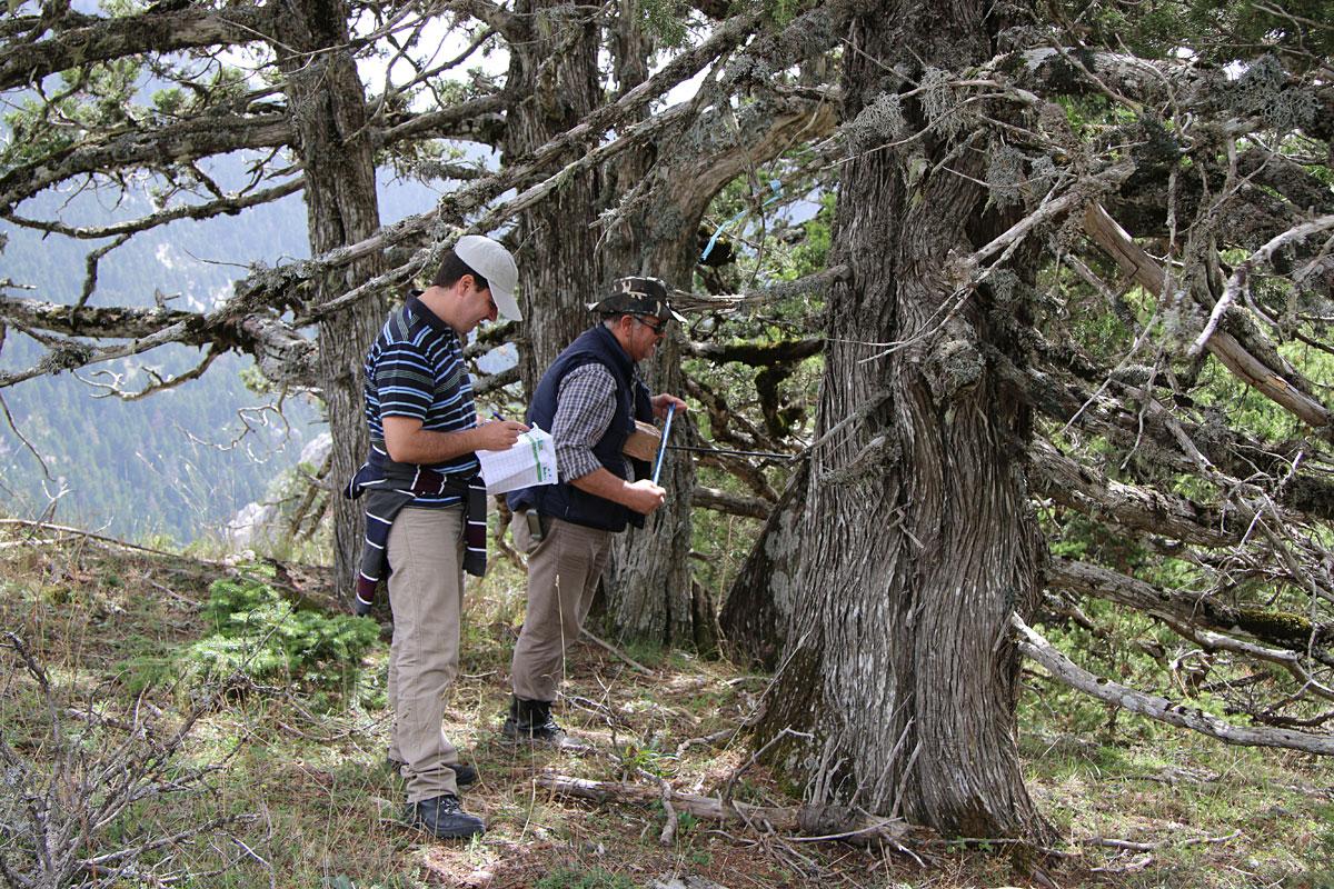 Μελέτη της δομής των πληθυσμών του Juniperus foetidissima (Φωτο: Γιώργος Μάντακας)