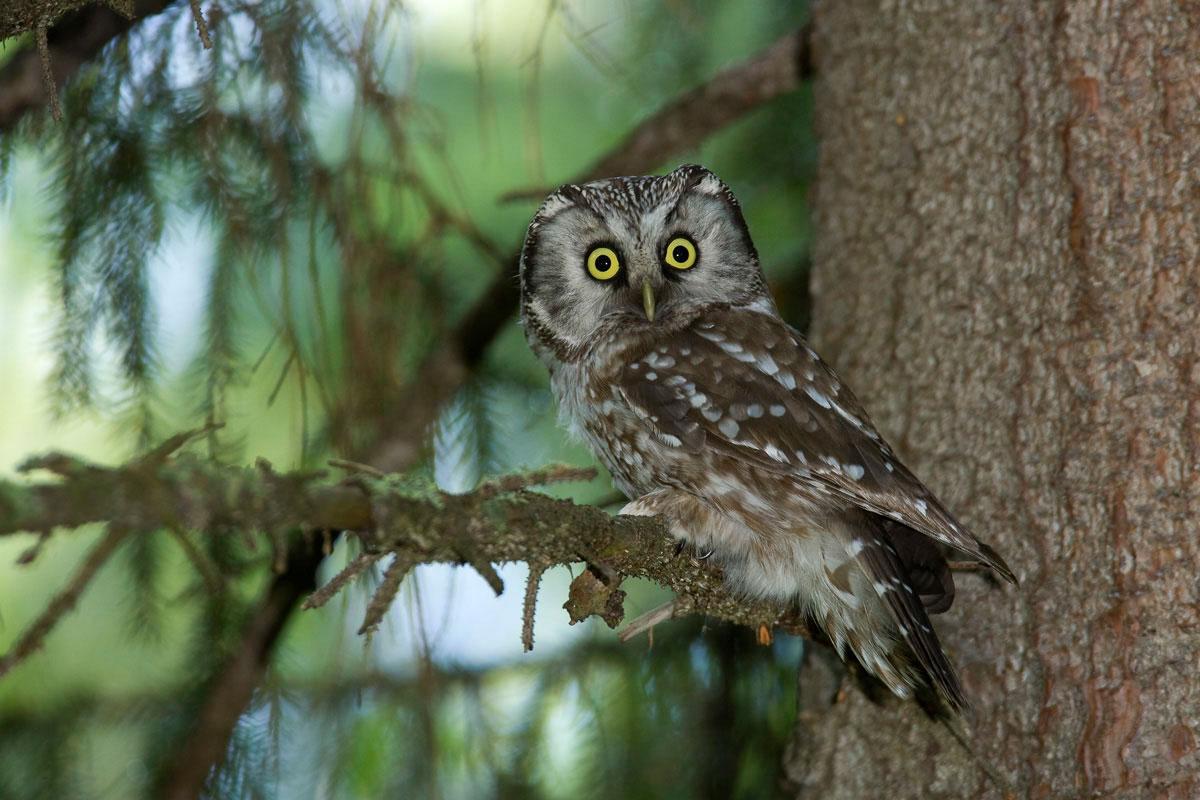 Tengmalm's Owl. (Photo: Nikos Petrou)