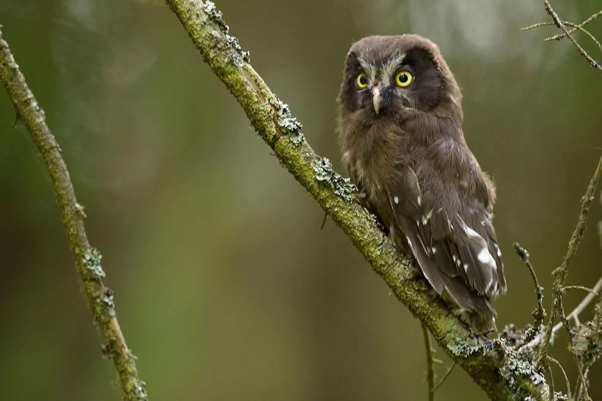 Juvenile Tengmalm's Owl. (Photo: Nikos Petrou)