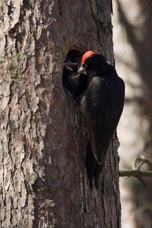 Μαύρος Δρυοκολάπτης ταΐζει τα μικρά του. (Φωτο: Νίκος Πέτρου)