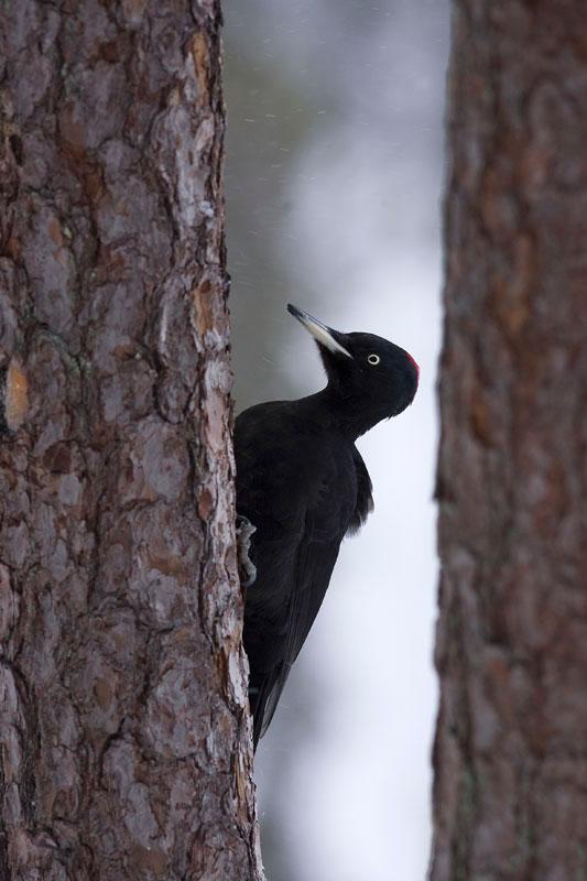 Μαύρος Δρυοκολάπτης. (Φωτο: Νίκος Πέτρου)