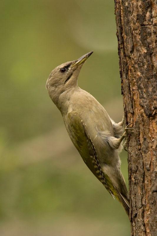 Grey-headed Woodpecker. (Photo: Nikos Petrou)
