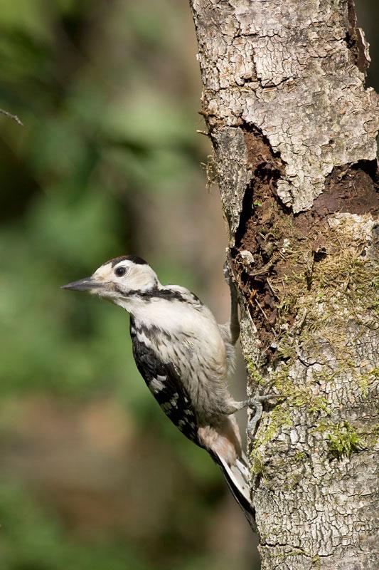 White-backed Woodpecker. (Photo: Nikos Petrou)