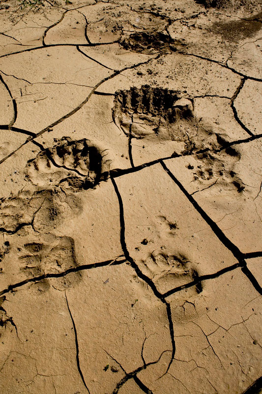 Brown Bear tracks. (Photo: A. Karamanlidis/ARCTUROS)