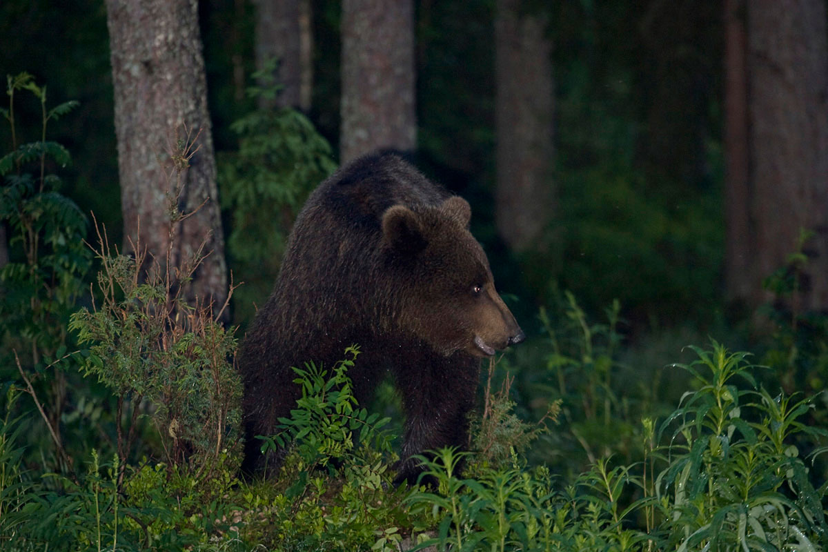 Brown Bear. (Photo: Nikos Petrou)