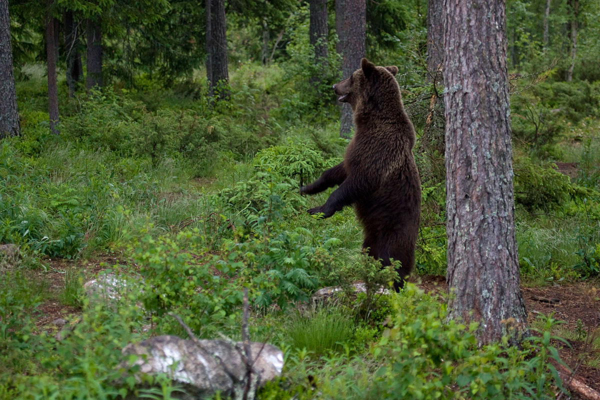 Brwon Bears often stand upright on their hind legs to survey their surroundings. (Photo: Nikos Petrou)