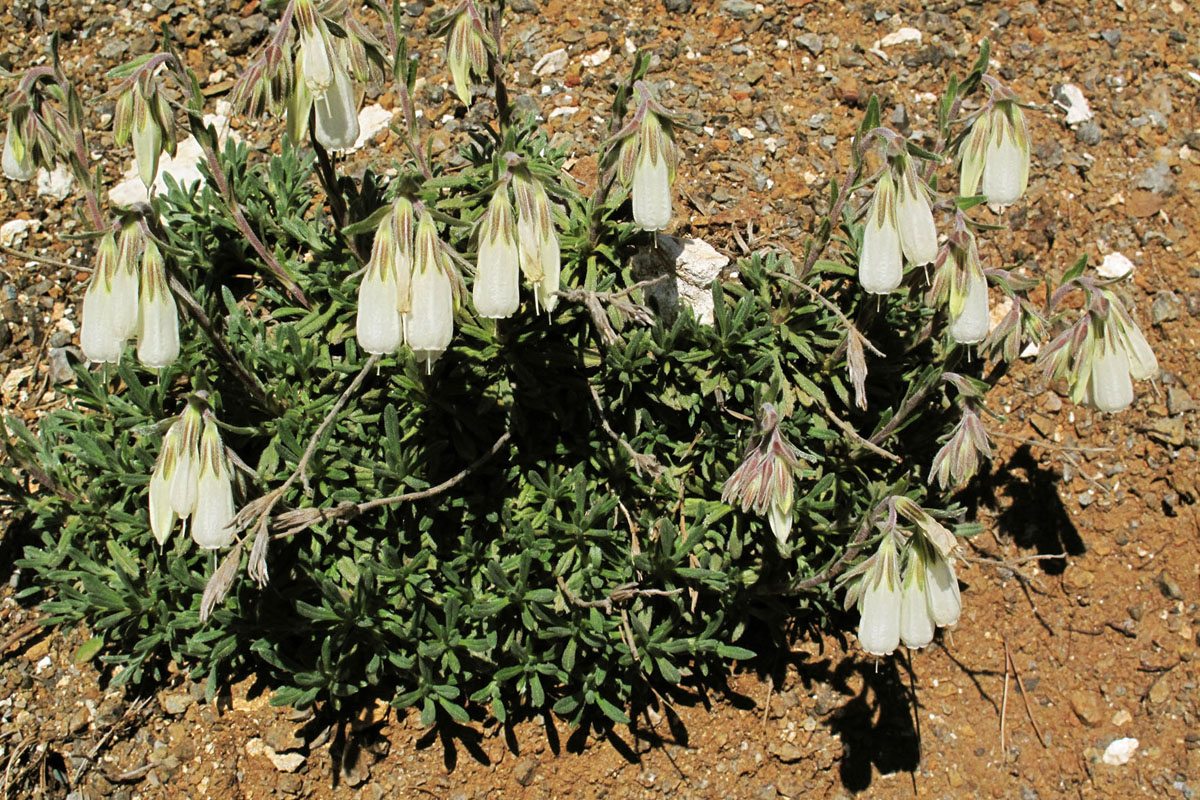 Onosma stridii. (Photo: G. Politis)