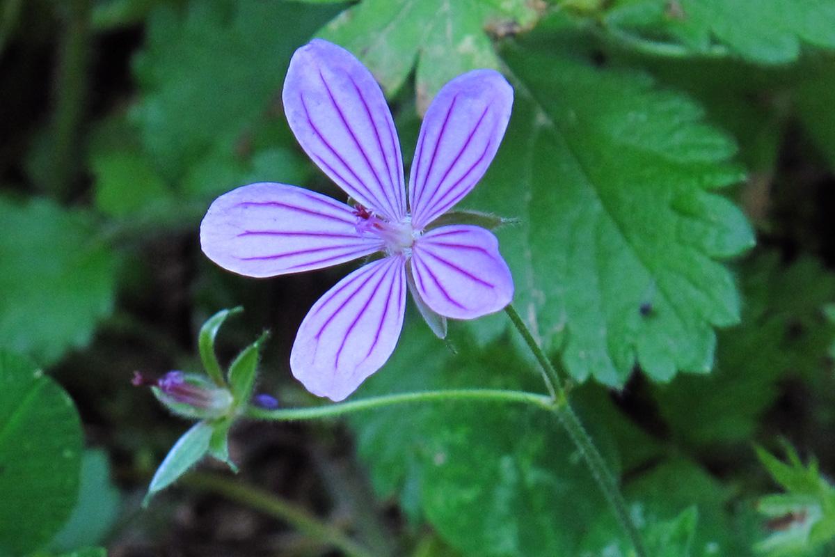Geranium striatum. (Φωτο: Γ. Πολίτης)