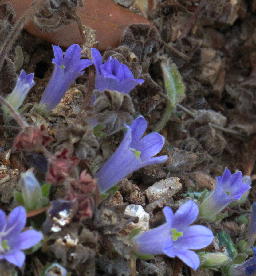 Campanula rupestris. (Photo: G. Politis)