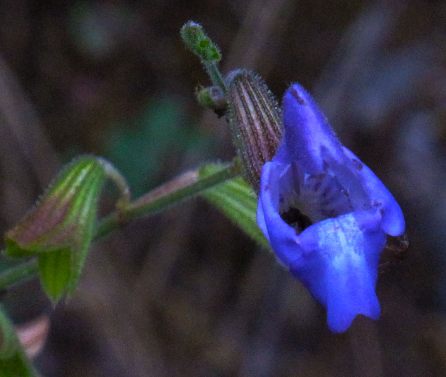 Salvia ringens. (Photo: G. Politis)