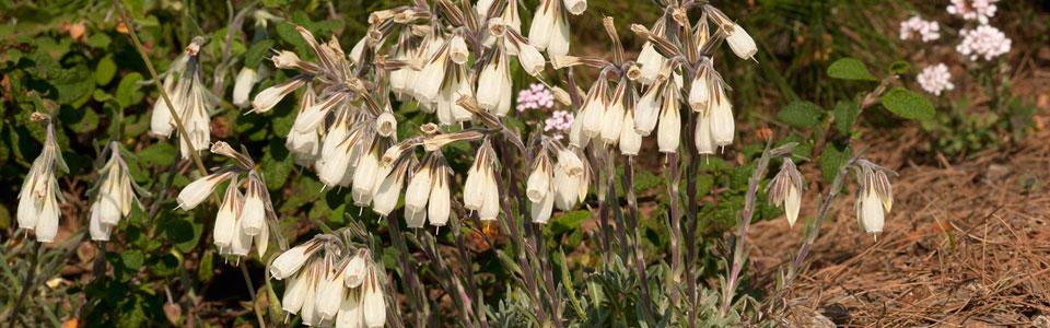 Onosma stridii on Mt. Kallidromo Photo: Nikos Petrou