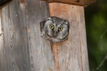 Tengmalm's Owl in a nest box, from a similar project in Finland. (Photo: Nikos Petrou)